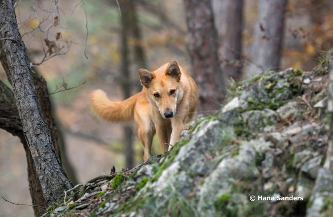 dingodog-3