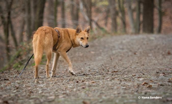 dingodog