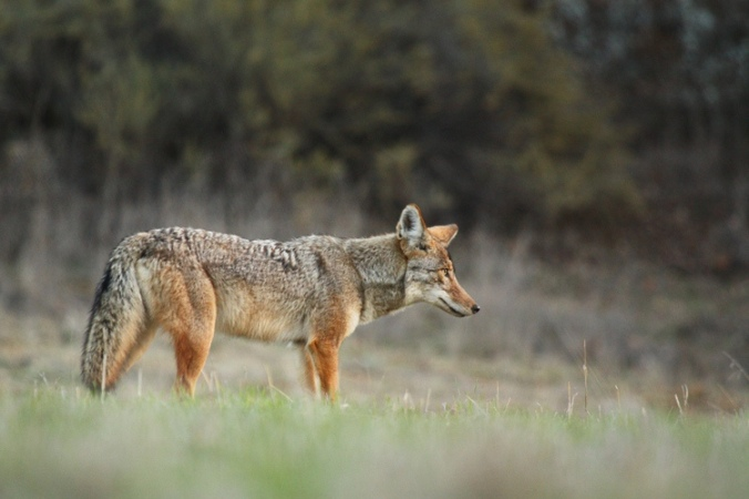 A photo of a coyote taken in Cheseboro Canyon in the Simi Valley  Photo taken by Jared Hughey.jpg