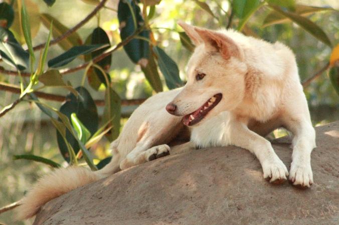 dingo (4)
