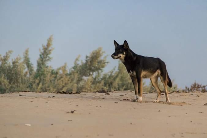 dingo black clarissa human