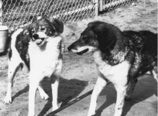 beagle-coydogs