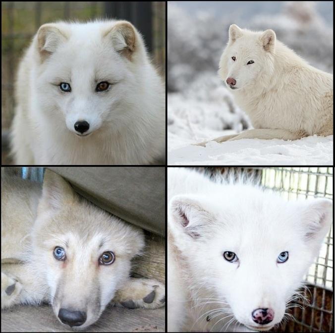 foxi.jpg