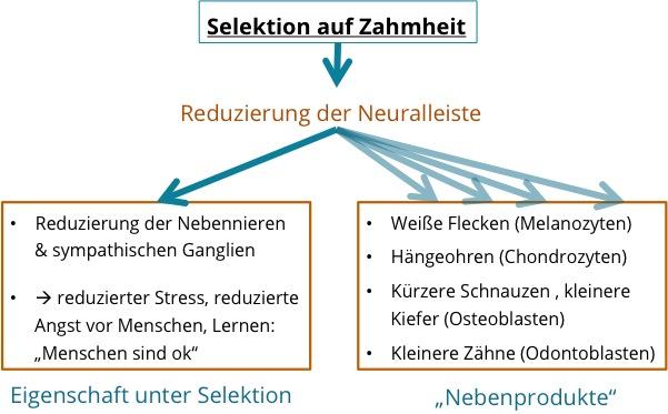 Einfluss-der-Neuralleiste