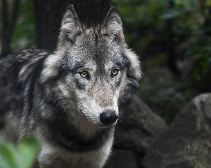 wolf-3241382_1280