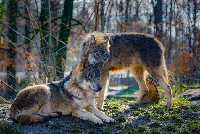 wolves-2178126_1280